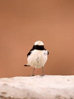 Mourning Wheatear