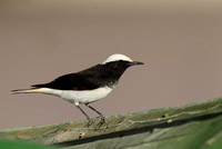 Hooded Wheatear