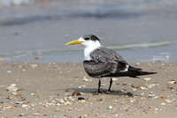 Greater Crester Tern