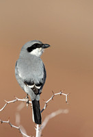 Shrikes and Tchagras