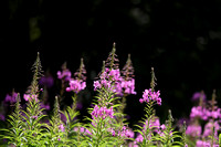 Willow Herb Robert