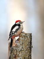 Middle Spotted Woodpecker