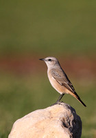 Red-tailed Wheatear